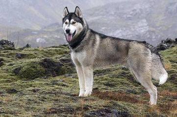 Siberian Husky Puppies Akc - Dog Breeders
