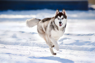Sekia's siberian Huskies - Dog Breeders