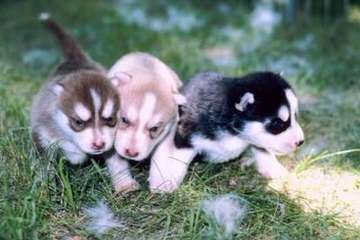 Northern Slope Siberians - Dog Breeders