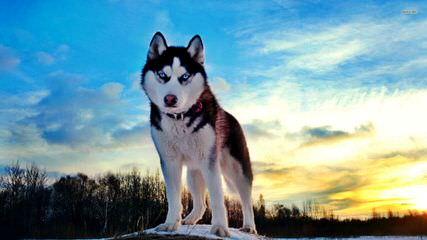 Bama Huskies - Dog Breeders