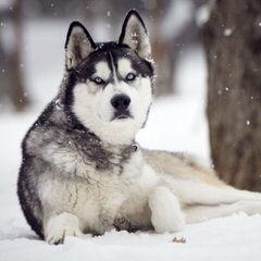 Dakine Siberian Huskies - Dog Breeders