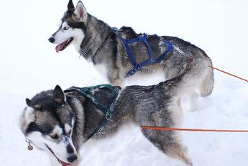 My Siberian Husky Kennels - Dog Breeders