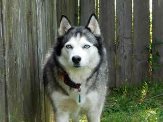 Northern Slope Siberians - Dog Breeders
