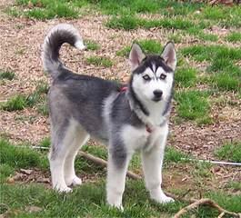 Mini Huskies – Alaskan Klee Kai - Dog Breeders