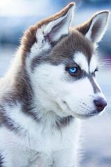 Hudson's Huskies & Malamutes - Dog Breeders