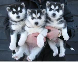 JAMAICA HUSKY - Dog Breeders
