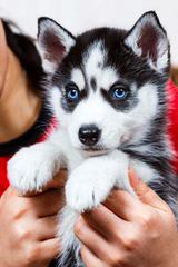 Huskies Extraordinaire Of Cafitachiqui - Dog Breeders