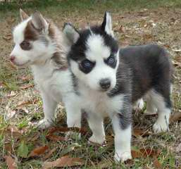 For Stud 10 Ms Male Bi-Eyes Gren/Blu - Dog Breeders