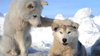 Meadow's Marvels Siberian Husky - Dog Breeders