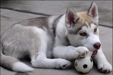 Free Amazing Husky Mix Dog - Dog Breeders