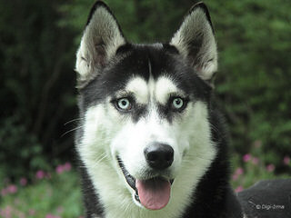 Looking For Siberian Love - Dog Breeders