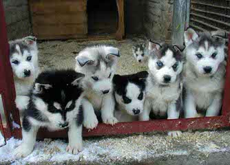 Huskies Extraordinaire of Cafitachiqu - Dog Breeders