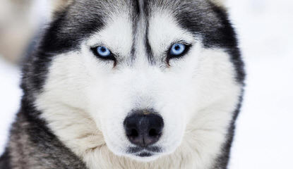 Looking For Male Husky To Breed With - Dog Breeders