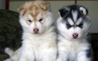 Dakine Siberian Huskies - Dog Breeders
