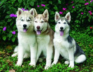 Akc Siberian Husky Wants To Be A Dad - Dog Breeders