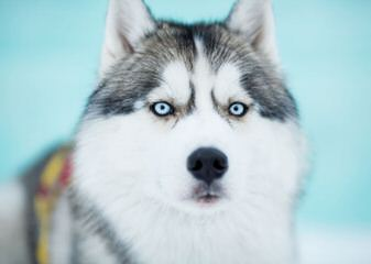 Bruck's Siberian Huskies - Dog and Puppy Pictures