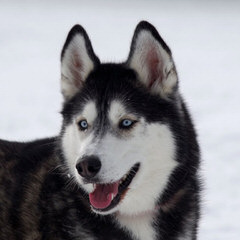 Free Amazing Husky Mix Dog - Dog Breeders