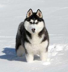 Looking For Siberian Love - Dog Breeders