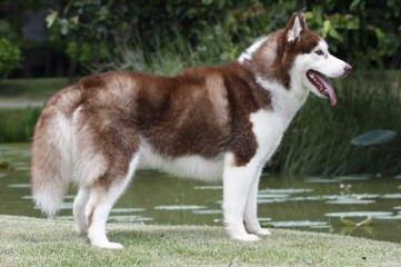 Akc Siberian Husky Pups From South Dakota - Dog Breeders