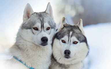 Akc Siberian Husky Pups From South Dakota - Dog Breeders
