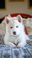 Siberian Husky Pups For Sale - Dog Breeders