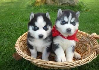 New Moon Siberian Huskies - Dog Breeders