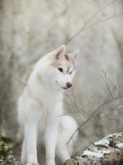 Siberian Husky Puppies Akc - Dog Breeders