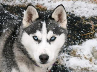 Heather's Huskies - Dog Breeders
