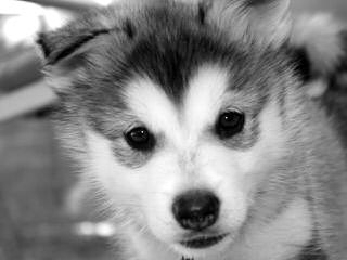 Christmas Pet Suppliers – Buy Siberian Husky Puppies Online - Dog Breeders