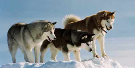 Huskies Extraordinaire Of Cafitachiqui - Dog Breeders