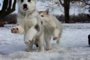 Howl'n Wind Siberian Huskies - Dog Breeders