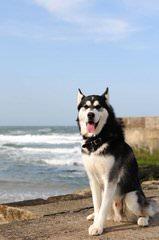 Seirra Siberian Huskies - Dog Breeders