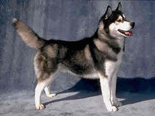 PhiChas Siberians - Dog Breeders