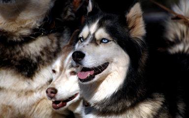 Siberian Kennels - Dog Breeders