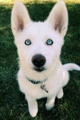 Gray's Huskies - Dog Breeders