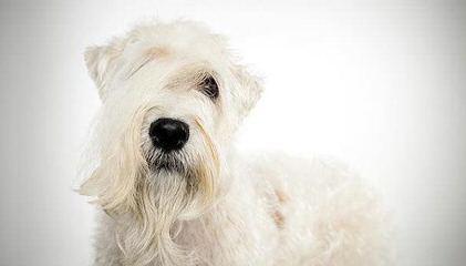 North Carolina Wheaten Terriers - Dog Breeders
