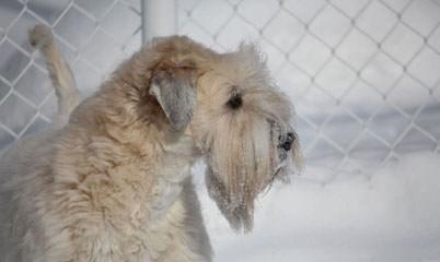 Soft Coated Wheaten Terrier - Dog Breeders