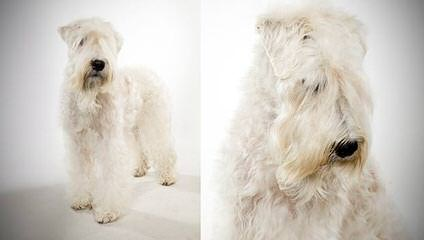 Soft Coated Wheaten Terriers - Dog Breeders