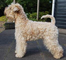 THE SOFT IRISH GENTLEWHEATEN - Dog and Puppy Pictures
