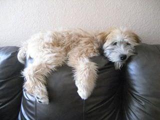 Coat of Honey Kennels - Dog Breeders