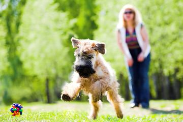 Whoodles Of Raisin Tree – Wheaten Terrier - Dog and Puppy Pictures