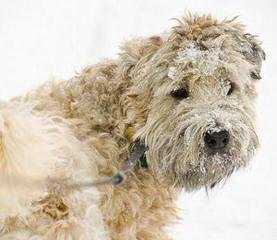 Soft Coated Wheatens Puppies - Dog Breeders
