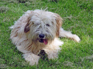 Liberty Farm Wheatens - Dog Breeders