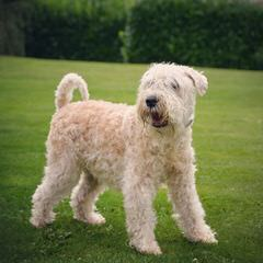 North Carolina Wheaten Terriers - Dog Breeders