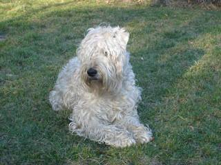 Wheaten Terrier – Non-Shedding - Dog Breeders