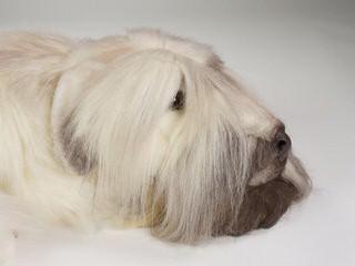 Liberty Farm Wheatens - Dog Breeders