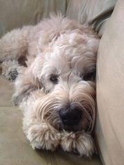 Soft Coated Wheaten Terriers - Dog Breeders