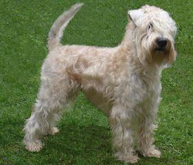 THE SOFT IRISH GENTLEWHEATEN - Dog Breeders