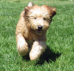 Soft Coated Wheaten Terrier - Dog and Puppy Pictures