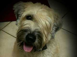 Soft Coated Wheaten Terrier - Dog Breeders